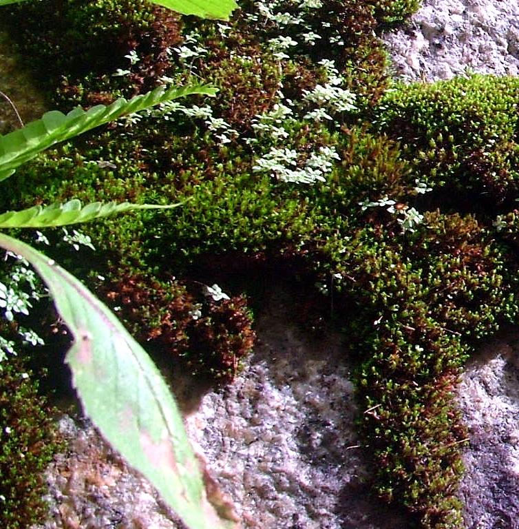 Rêu đà lạt